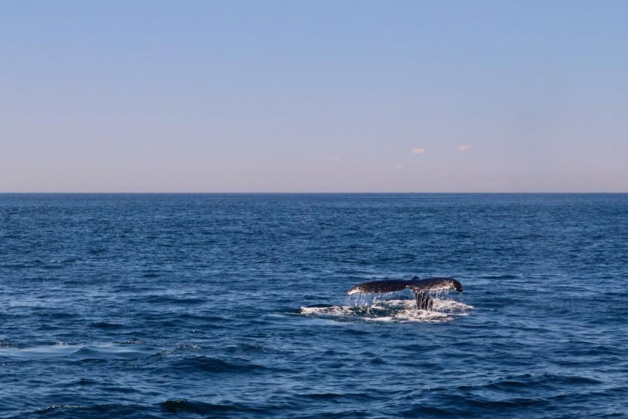 Knölval på väg mot havets djup